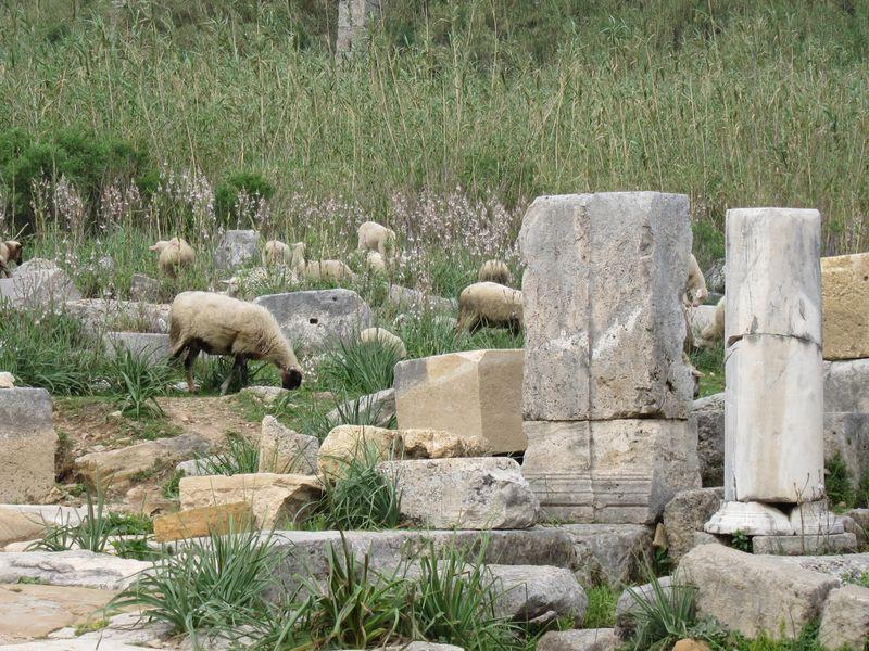moutons sur le site archéologique de Pergé, Turquie