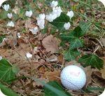 photo by moi : sous-bois beurton (44) avec cyclamens et balle de golf, le jeudi 13 octobre 2011